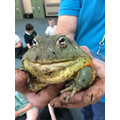 A very fat bull frog called Jabba.