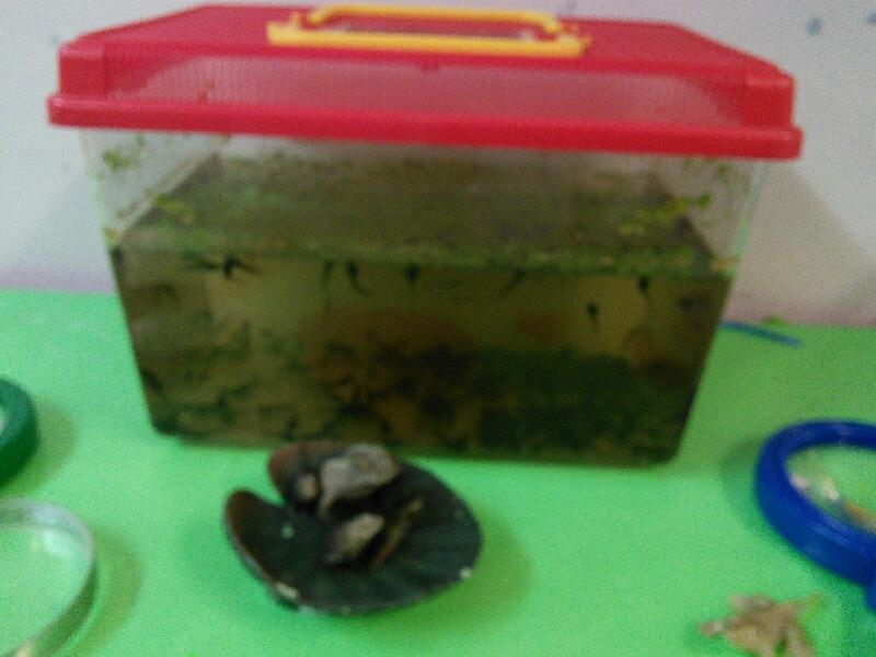 We have had tadpoles in our class.