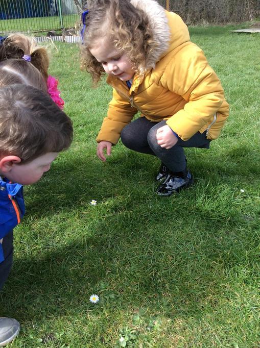Callie found Daisies on the grass.