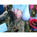 We used a hand drill to make holes in our conkers.