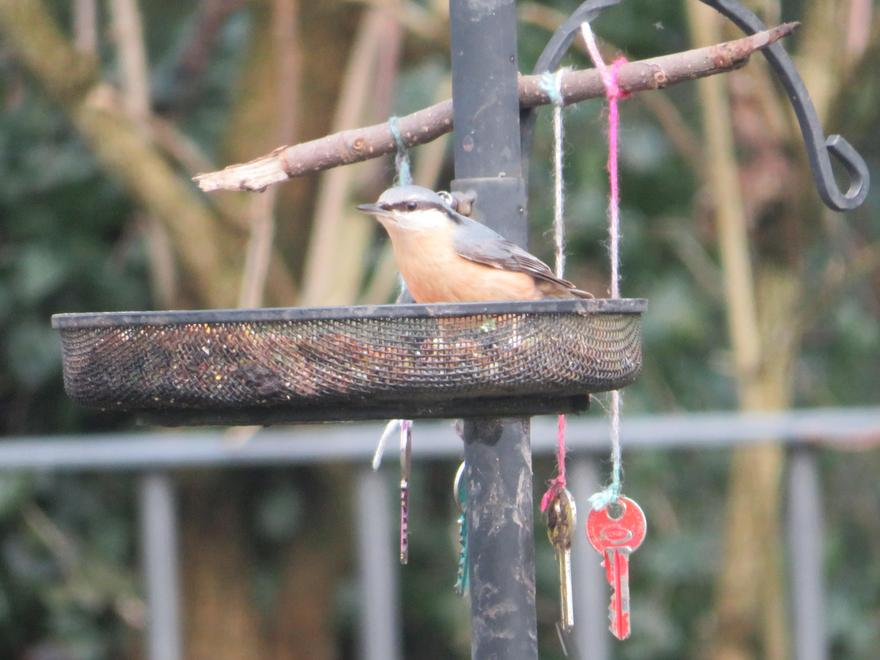 Since feeding the birds, we have a visiting nuthatch, which is very exciting!