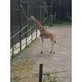 Giraffe heights