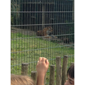 Very lucky to see the tiger up close