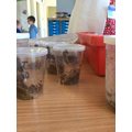 We were thrilled to discover that some of our caterpillars had begun to chrysalid!