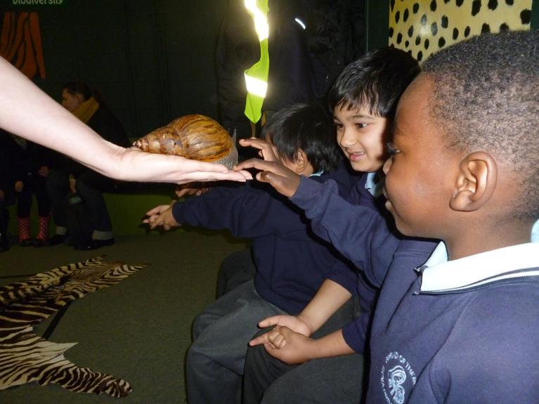Stroking the giant African land snail