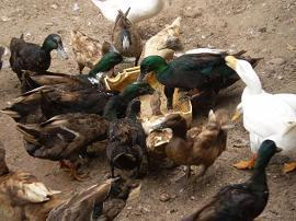 The ducks were extremely hungry!