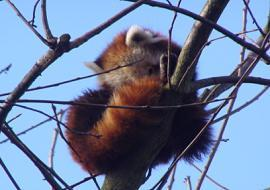 A Red Panda up a tree!