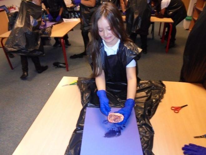 Dissecting lamb hearts