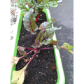 This beetroot is nearly ready to eat.