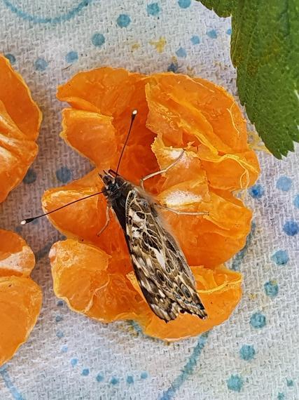 Feeding on orange!
