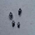 Rabbit footprints on our playground