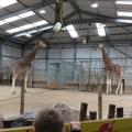 We enjoyed watching the tall giraffe
