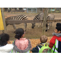Stripy zebras