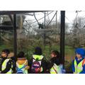 Gibbon forest