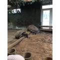 Very giant tortoise!