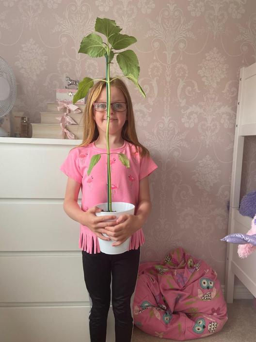 Sharna's sunflower is growing!