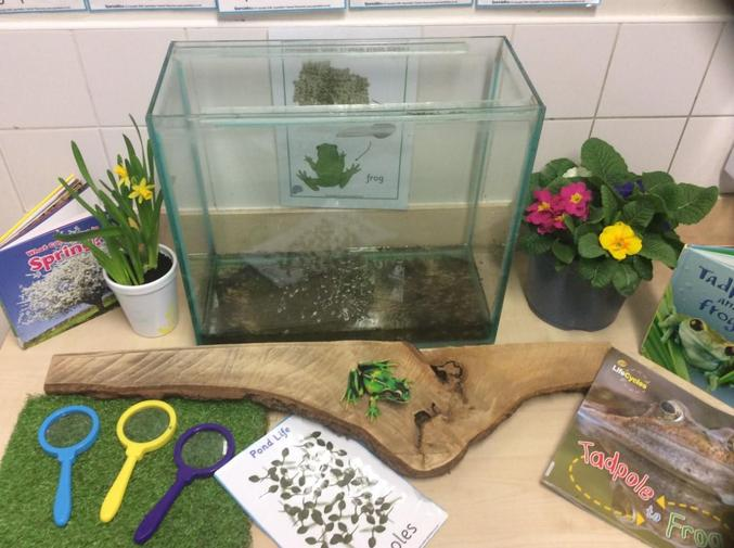 We are really excited to have frogspawn in Nursery. I wonder what will happen to it?