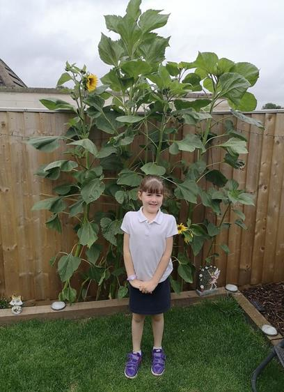 Wow! These sunflowers are so tall ⭐️🌻