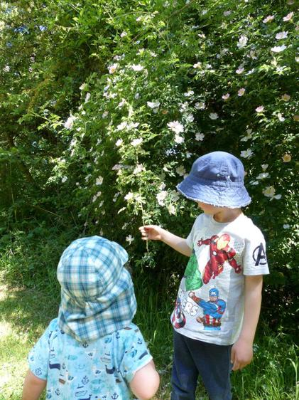Aaron found wild roses on his daily walk⭐