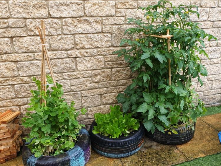 Lily-Rose's healthy tomato plants