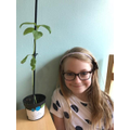 Verity's 30cm sunflower seedling
