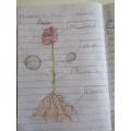 Gabriel's rose diagram