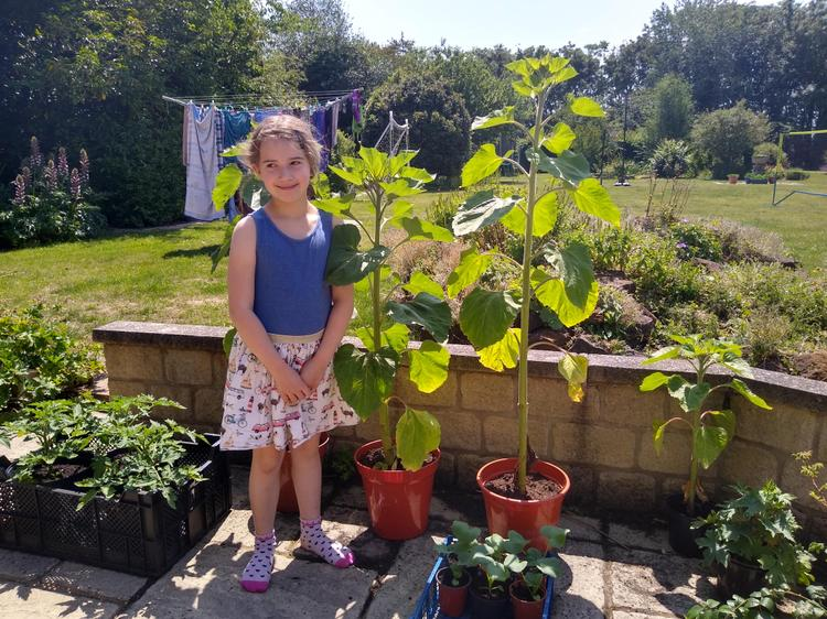 Maisey's sunflower-is yours taller?