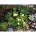 Gabriel's rhubarb