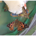 Our caterpillars have become butterflies.