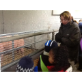 We saw the pigs being fed.