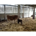 The cow had a baby calf.