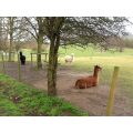 These are alpacas.