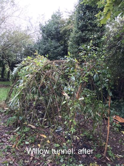 Willow tunnel: after