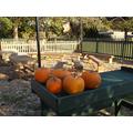 Prize pumpkins