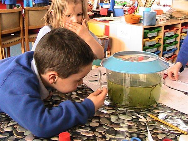 Studing our class tadpoles