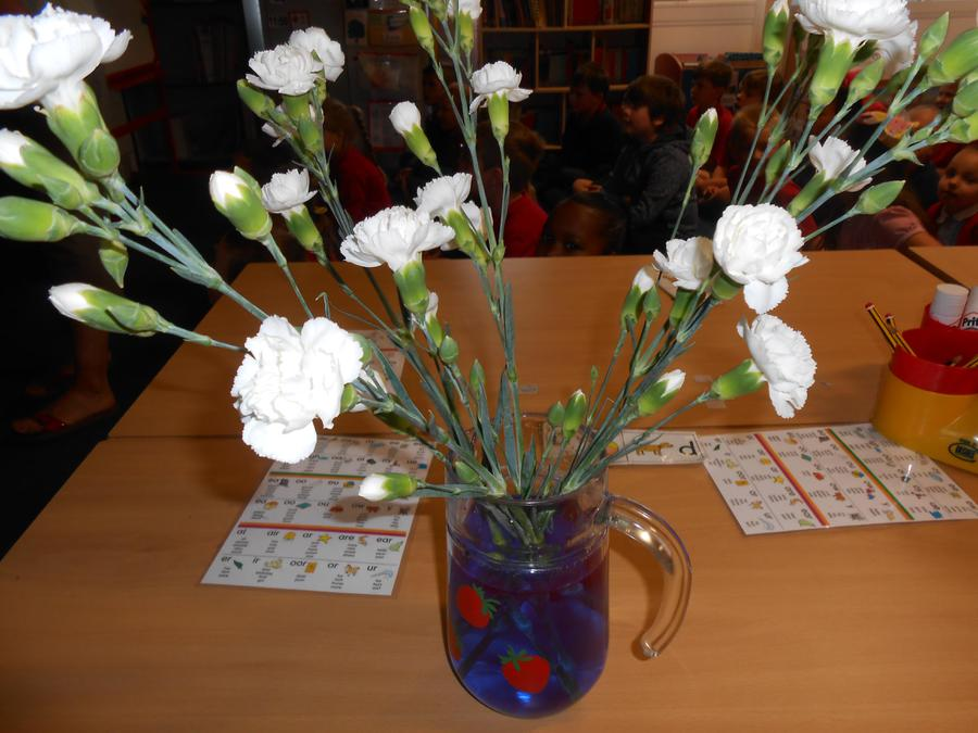 White carnations and food colouring experiment.