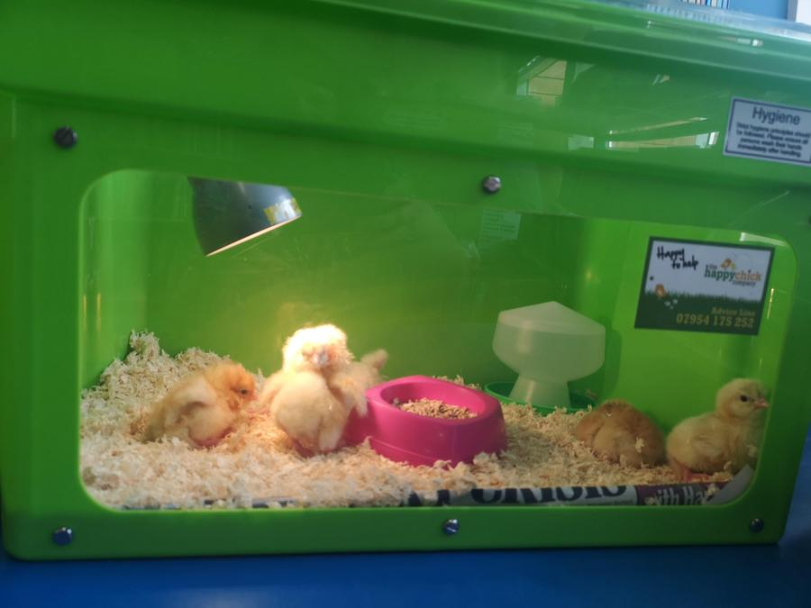 Some of the chicks are ready to go into the brooder.
