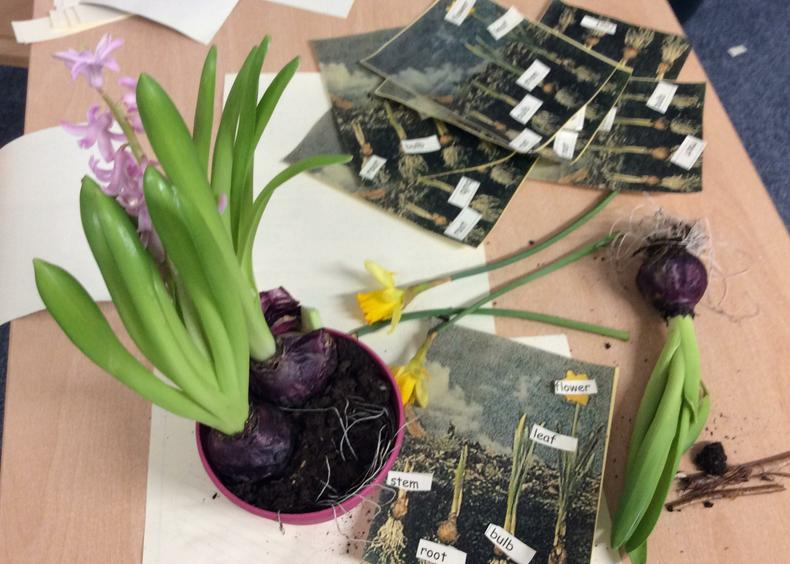 Reception learnt about bulbs & parts of a plant.