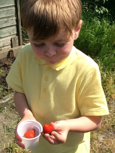 We helped Mrs Bentley collect her strawberries.