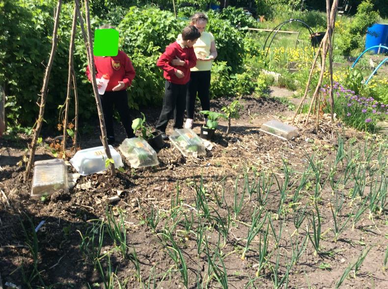Observing crops in Mrs Bentley's allotment.