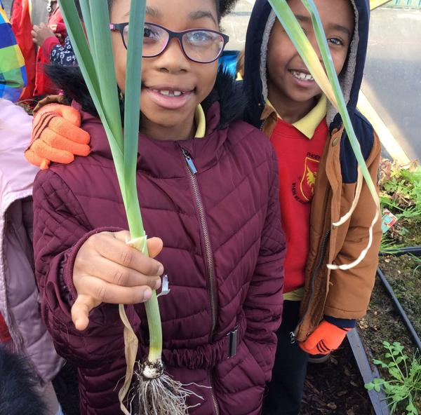 Year 2 picked the leeks from the bio dome.
