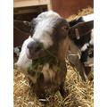 Maui - the nanny goat