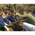 Moving a tree from a bed to the garden. looking at the roots and the structure of a tree!