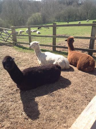 A school trip with Blake Class? Alpaca my bags!