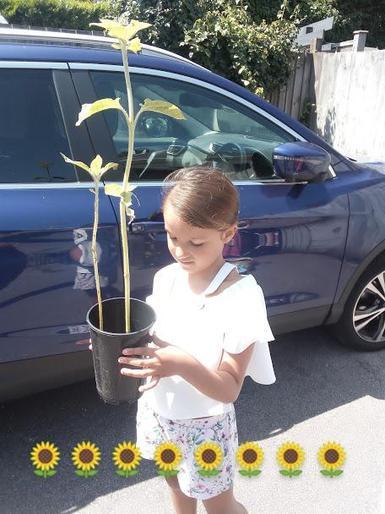 Amber's super sunflower!