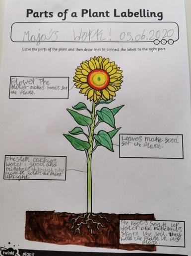 Maja's beautiful plant diagram!