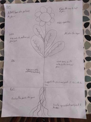 Edith's parts of a plant diagram