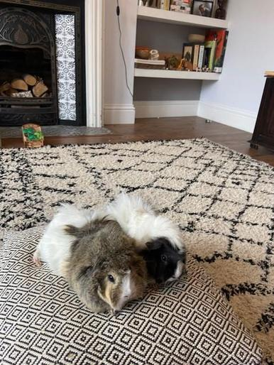 Coco and Muffin (Olivia's guinea pigs)