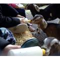 Here we are bottle feeding goats,