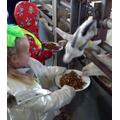 Feeding the older goats